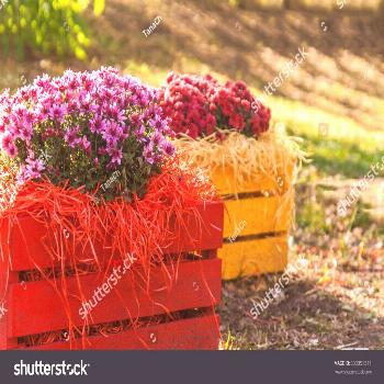 Fresh chrysanthemums in a colorful wooden box in the garden. ,