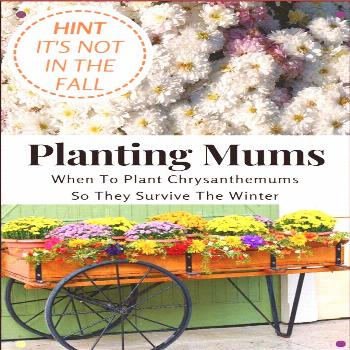 Plant Mums In The Spring To Give The Roots A Chance To Grow And Develop During The Summer So That T