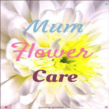 Want To Make Your Chrysanthemums Last As Long As Possible? Discover How In Mum F...#chrysanthemums