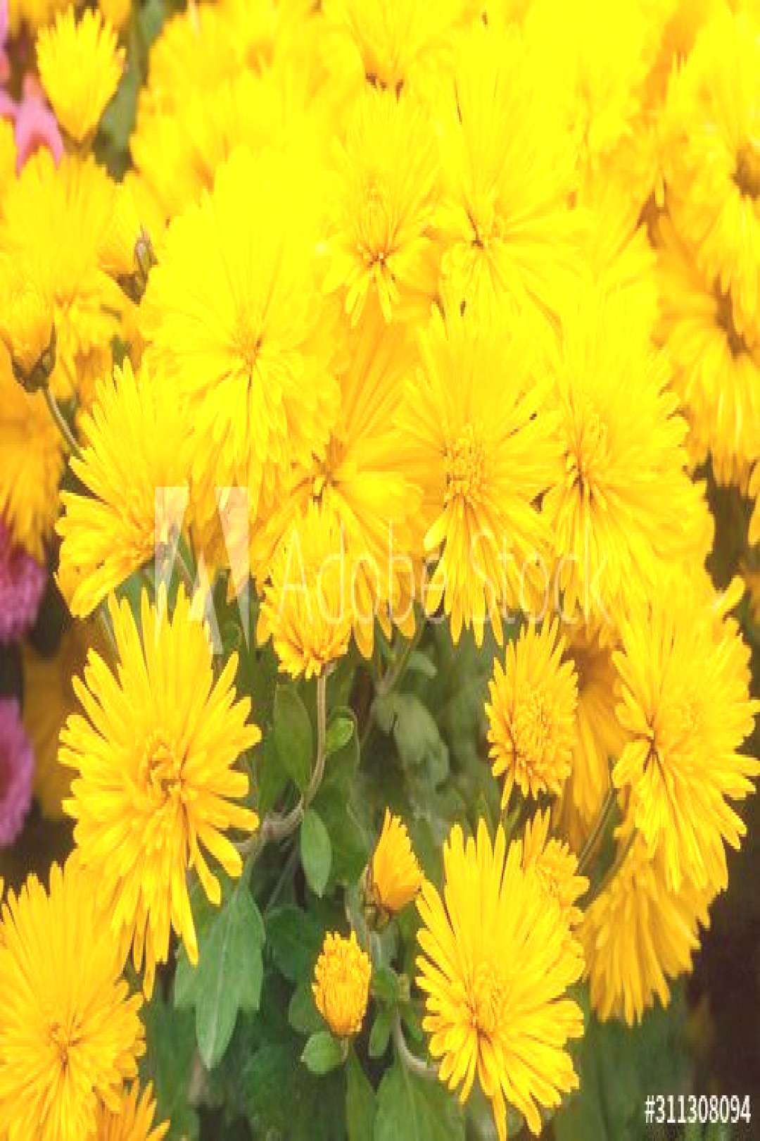 Flowering yellow chrysanthemums on the flower bed close-up ,