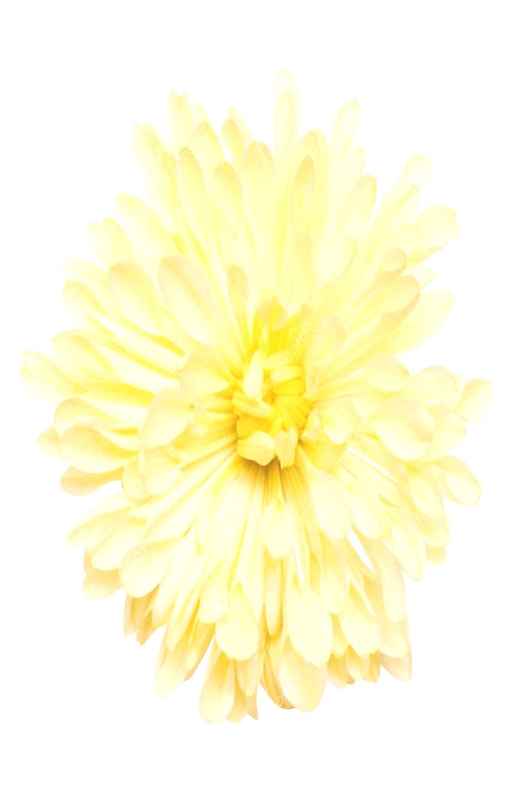 Yellow chrysanthemums flower - Stock Photo ,